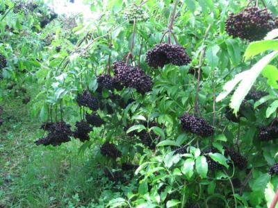 SURO® « Organic Medicinal Products